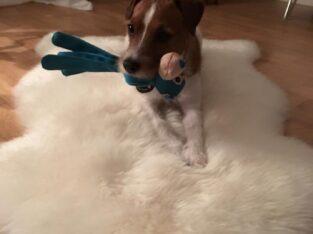 Dagmatte till Jack Russel Terrier