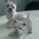 "Porslinshundar ""West highland white terrier"""